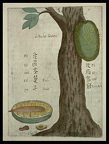 Botanical drawing of jackfruit tree
